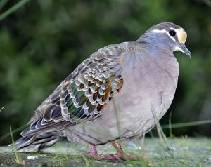 Common Bronzewing / Dove