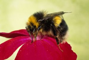 Common Bumblebee - collecting pollen on Primula flower