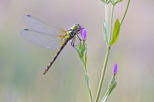 Common Darter Dragonfly - resting on Common Centaury flower - July