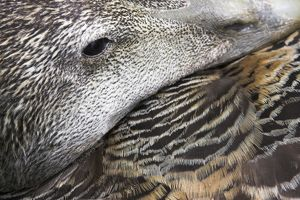 Common Eider Duck - Female. Close-up of eye and feather detail as she broods eggs.