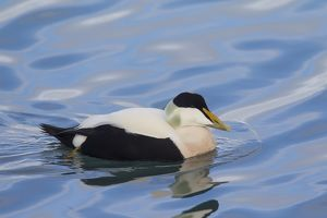 Common Eider male in breeding plumage Iceland