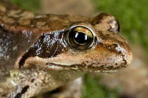 Common Frog - close-up