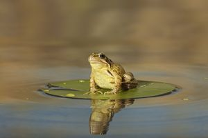Common Frog - on lily pad - with reflection