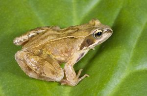 Common Frog - sitting on leaf