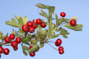 Common Hawthorn - with fruit.