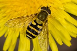 Common Hoverfly - on dandelion flower