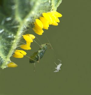 Common Nettle Aphid