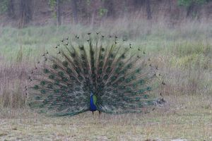Common Peacock / Peafowl - male displaying tail plumage