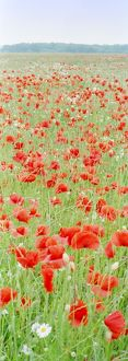 Common Poppies - in meadow
