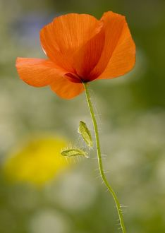 Common Poppy or Field Poppy, with fallen sepals.