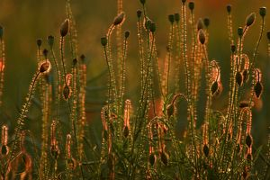 Common Poppy - flower bud and seed heads in evening light