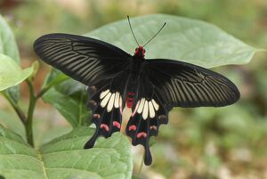 Common Rose Butterfly (Pachliopta aristolochiae)