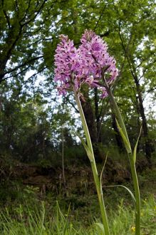 Common Spotted-Orchid - in her habitat