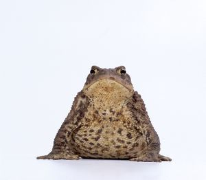 COMMON TOAD - studio