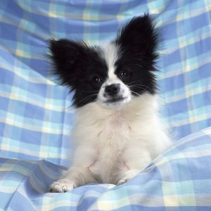 Continetal Toy Spaniel / Papillon Dog