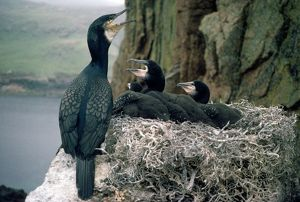 Cormorant - at nest with young