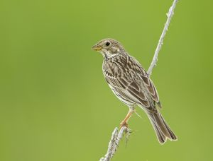 Corn Bunting - perched