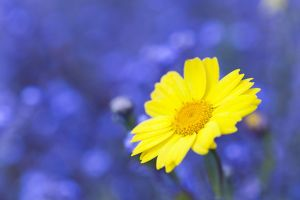 Corn Marigold - in bloom with Cornflowers in background - Summer