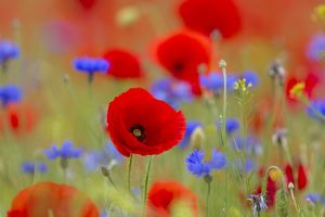 Corn Poppy and Cornflower