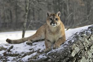Cougar / Mountain Lion / Puma