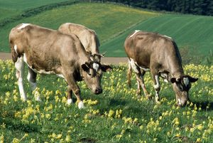 COWS AND COWSLIPS