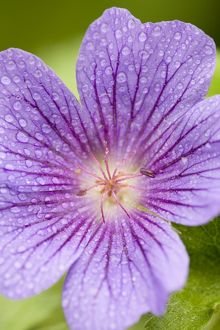 Cranesbill Flowers with rain drops