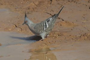 Crested Pigeon - Drinking at a drying pool.
