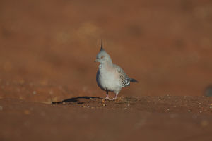 Crested Pigeon - walking on the ground - At Papunya