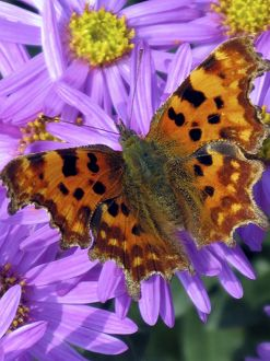 CRH-1045 A Comma Butterfly - one of many migrant butterflies to the British Isles, forages on an Aster (A. amelius).