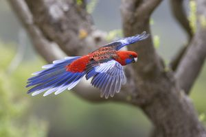 Crimson Rosella - adult in flight is about to land on a tree