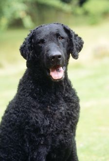 <b>Retriever (Curly Coated)</b><br>Selection of 34 items