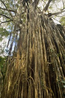 Curtain Fig Tree - after the host tree fell over, a dense curtain of air roots formed