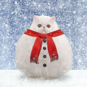 Cat - White persian - snowman with scarf and