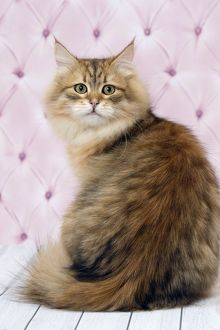 Cute Siberian cat winking with mouth open