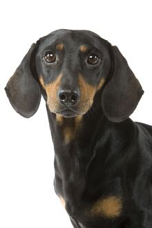 Dachshund / Teckel - smooth-haired black & tan