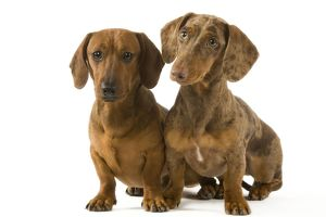 Dachshund / Teckel - two smooth-haired - one Chocolate Harlequin