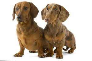Dachshund / Teckel - two smooth-haired - Chocolate Harlequin