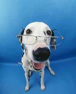 Dalmatian Dog - With glasses