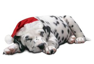 Dalmatian Dog - Puppy asleep, wearng Christmas hat.
