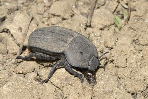 Darkling beetle on ground, where it feeds on plant litter.