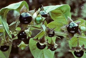 Deadly nightshade with berries