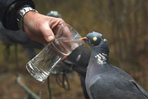 Decoy birds Wood Pigeons given water to drink -