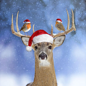 Deer, in winter snow wearing Christmas hat, with