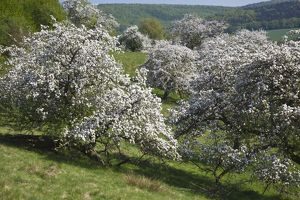 Disused Apple Orchard - in blossom