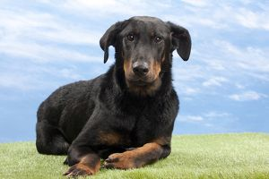 Dog - 14 month old Beauceron puppy