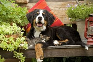 Dog - 3 month old Bernese Mountain Dog puppy on garden bench with 2 month old tabby kitten