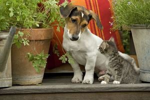 Dog - 3 month old Jack Russell Terrier Puppy with 2 month old kitten