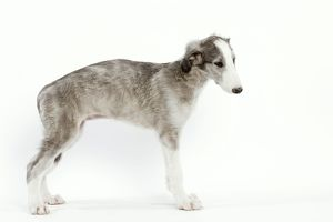 Dog - 6 week old Borzoi puppy in studio
