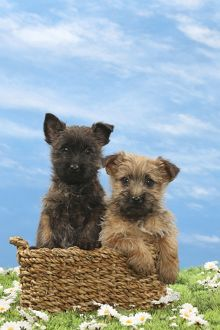 Dog - 8 week old Cairn Terrier puppies in basket