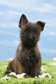 Dog - 8 week old Cairn Terrier puppy